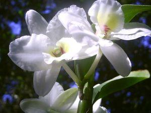 orquideas_jundiai